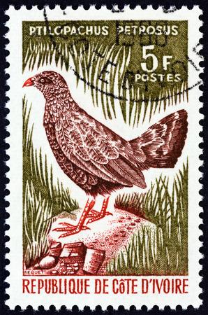 """kuropatwa: IVORY COAST - OKOŁO 1966: Stempel drukowane w Wybrzeżu Kości Słoniowej od """"ptasiej"""" problem pokazuje Kamień kuropatwy kuraczki petrosus, około 1966 roku."""