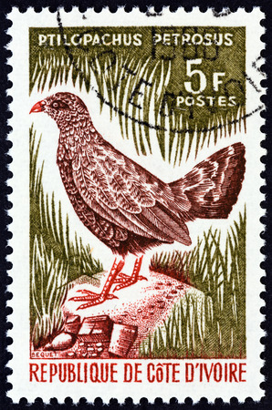 timbre: IVORY COAST - CIRCA 1966: A stamp printed in Ivory Coast from the Birds  issue shows Stone partridge Ptilopachus petrosus, circa 1966.