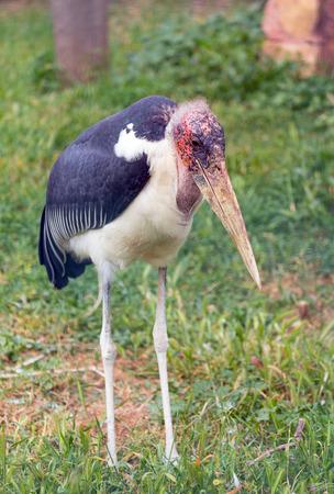african stork: Marabou stork (Leptoptilos crumenifer) African bird Stock Photo