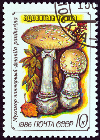 sello: USSR - CIRCA 1986: A stamp printed in USSR from the Fungi issue shows Panther cap (Amanita pantherina), circa 1986. Editorial