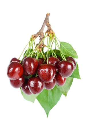 Bunch of fresh ripe wet cherries close-up with leaves and stems isolated on white background.