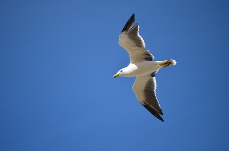 wing span: flying gliding seagull on blue sky