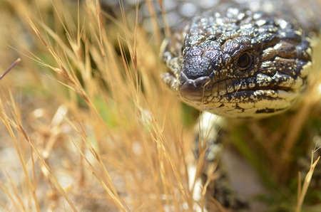 shingle: Australian shingle back sleepy lizard in dry grass