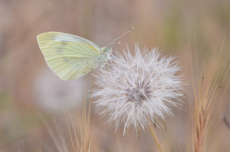blowball: small butterfly on dandelion blowball clock Stock Photo