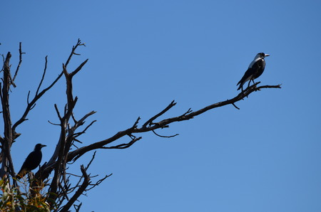 tranquillity: Magpie bird on dead tree branch keeping a look-out on a blue sky