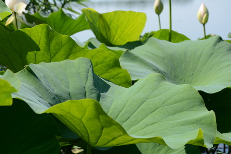 tranquillity: Lotus leaves and bud pod on background of a lake