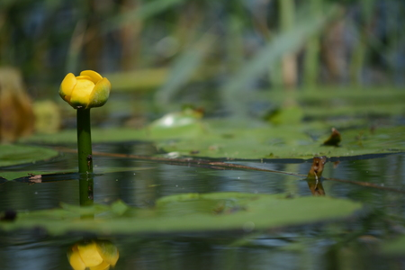 fertilisation: One Yellow Water-lily on lake Stock Photo