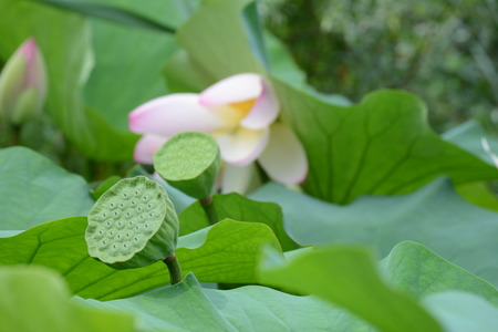 fertilisation: One maturing lotus pod and a new pod with seeds on background of leaves and a flower
