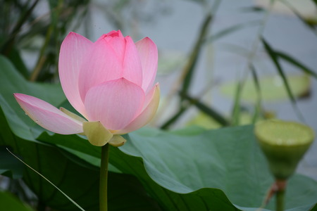 fertilisation: A lotus flower just flowering on background of leaves and a pod