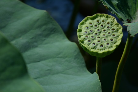 fertilisation: Maturing lotus pod with seeds on background of leaves Stock Photo