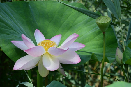 fertilisation: Newly opened lotus flower next to a pod and its own leaf Stock Photo