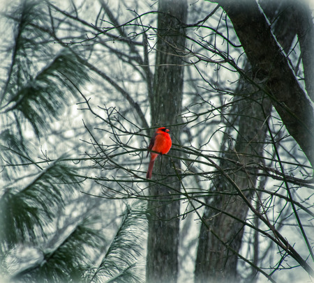 winter storm: Dreaming of Spring  A Saint Louis Cardinal Bird In a Winter Storm