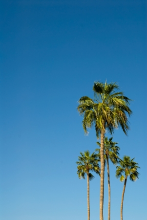 Four palm trees against a brilliant blue sky Stock Photo