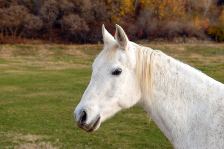 White horse standing in a pasture looking at the viewer. Stock Photo