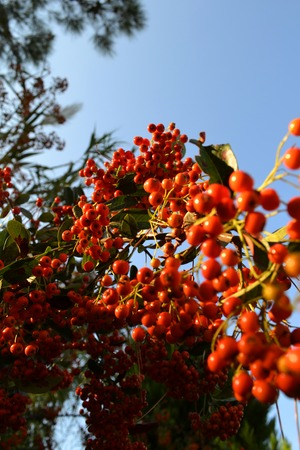 Rowan berries close up on a branch. Blue sky in the background