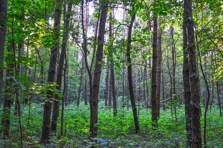 Dense forest. An impenetrable thicket. Background image. Russia. Summer day