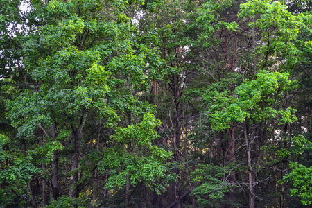ural: Dense forest. An impenetrable thicket. Background image. Russia. Summer day