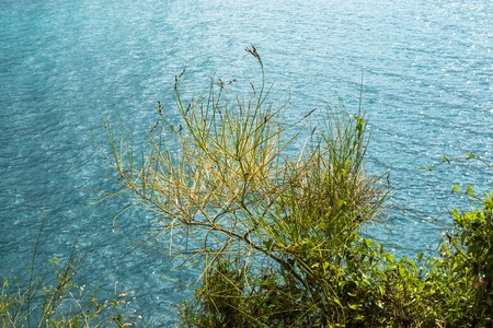 A coastal plant with thin branches grows on a mountain above the sea. Montenegro. The Budva Riviera