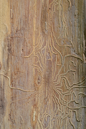 Traces of the pest beetle pest on the trunk of a dried tree Stock Photo