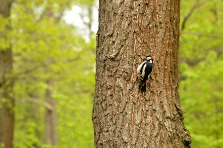 Big spotted woodpecker on a tree Stock Photo