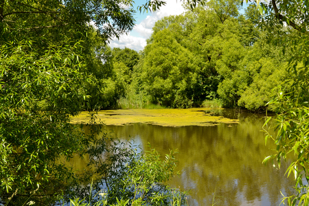 Forest Lake, covered with duckweed plants