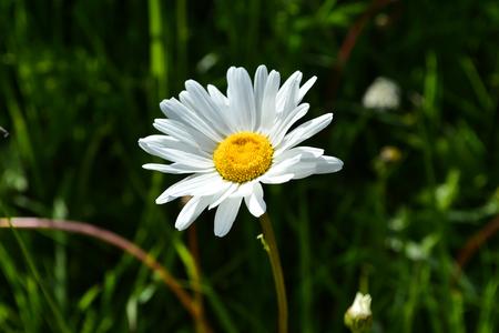 Daisy camomile flower Stok Fotoğraf