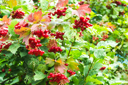 Berries of red viburnum on a branch with leaves after the rain. Drops of water on berries