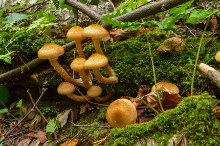 Mushrooms in the forest grow on an old fallen tree