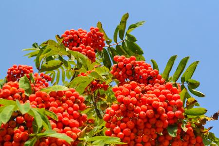 Rowan berries, Mountain ash (Sorbus) tree with ripe berry Stock Photo