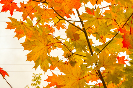 Color maple leaves and on branches. Autumn colors. Yellow, red against the sky