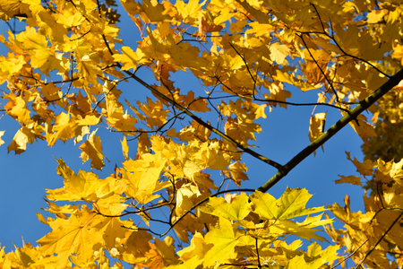Color maple leaves and on branches. Autumn colors. Yellow, red against the blue sky