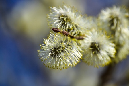 Flowering willow. Flowering pussy willow branch on natural blue blurred background close-up.