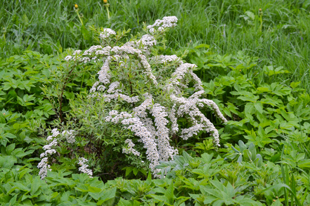 White small flowers in large quantities on a bush Фото со стока