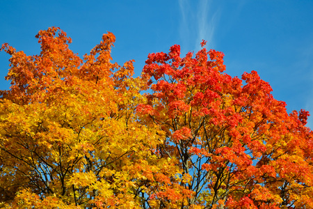 Beautiful autumn view. Maple red, yellow, green colors of leaves against a blue sky. Warm autumn day. Imagens