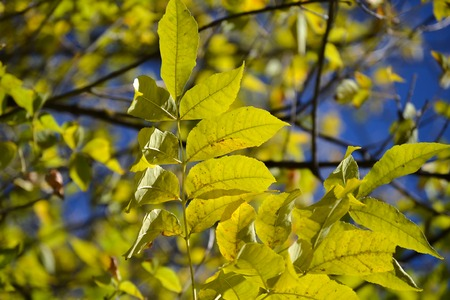 Autumn branch with yellowing leaves against blue sky