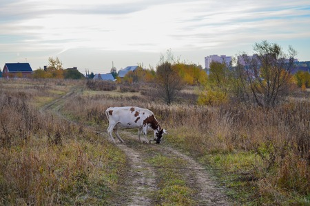 cow on a country road. Autumn landscape. Russia