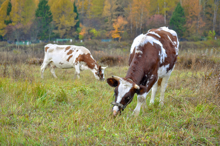 Two cows graze on pasture. Autumn landscape. Russia Imagens