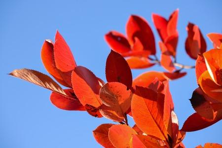 Aronia czarna (Aronia melanocarpa). Czerwone liście na tle błękitnego nieba. Jesienny słoneczny dzień.