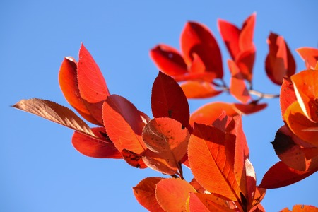 Black chokeberry (Aronia melanocarpa). Red leaves against the blue sky. Autumn sunny day.