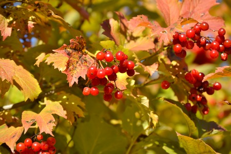 Beautiful bush of Red Viburnum medicinal plant with bunches of bright red berries and fresh green leaves in sunlight.