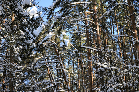 Tall pine tree covered with snow. Winter day.