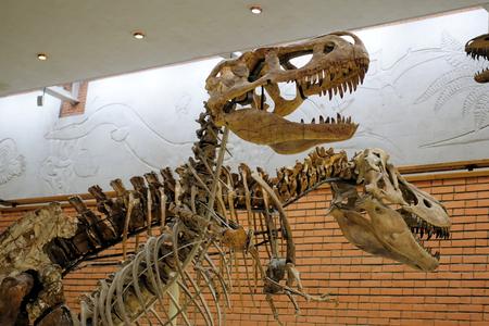 Skeleton predatory carnivorous dinosaur Tyrannosaurus