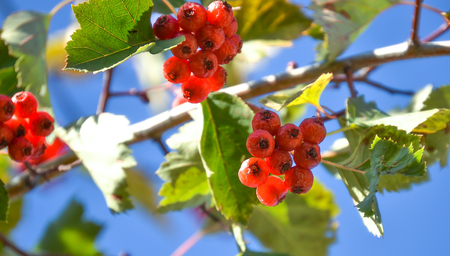 Branches with red hawthorn berries against blue sky.