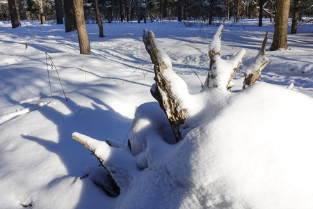 The roots of a fallen tree are covered with snow in the forest. Stock Photo