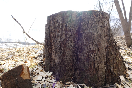 The stump of a felled tree on the background of wood chips. Destruction of nature. Concept of saving the planet