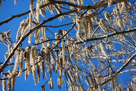Flowering branches of the aspen tree with earrings in early spring, landscape