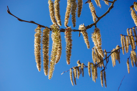 Branches fleuries du tremble avec boucles d'oreilles au début du printemps, paysage