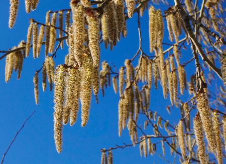 Flowering branches of the aspen tree with earrings in early spring, landscape Stockfoto