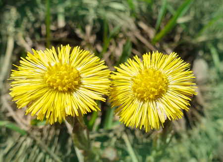 The first spring sunny flower, the symbol of the sun. Two flowers coltsfoot