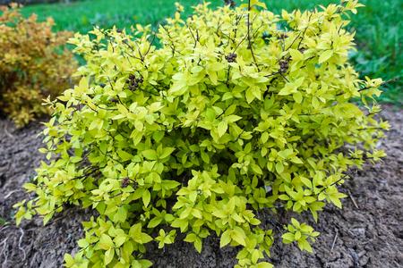 Shrub bright green young foliage in the garden